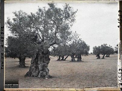 Tunisie, Djebeniana, Vieux oliviers autre aspect. Vieux oliviers dans une plantation (culture arabe)