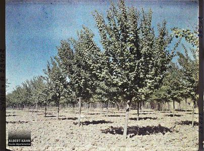 Syrie, Damas, Les Jardins de Damas : Abricotiers. Plantation irriguée d'abricotiers