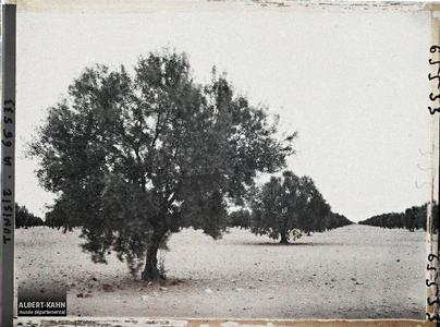 Tunisie, env. de Sfax, Oliviers de 20 ans. Oliviers de 20 ans